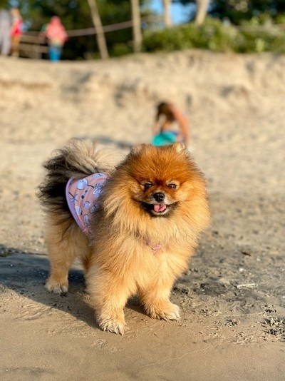 Last Beach Days of Summer - pure joy of a beach loving pomeranian