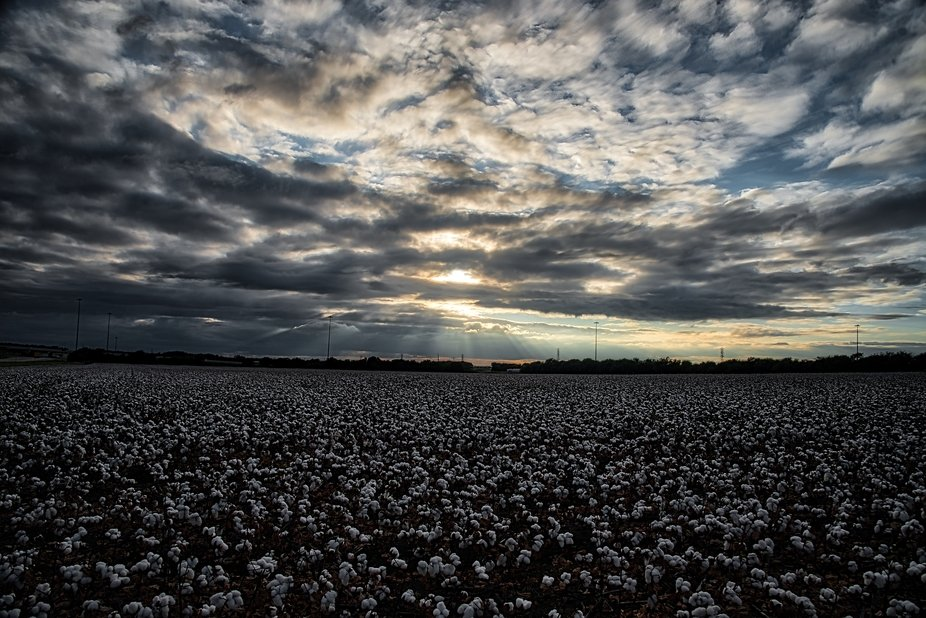 Cotton ready to harvest in central Texas.