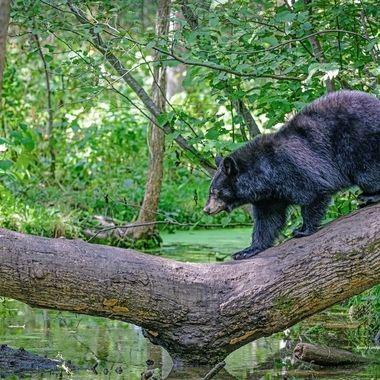 A Black Bear cub crossing a creek