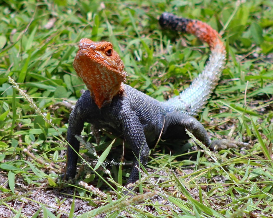 This non-native lizard was first found in Florida in 1976. The Florida Fish and Wildlife Conserva...