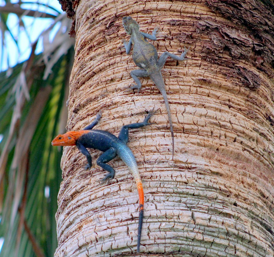 These creatures eat ants, grasshoppers, and beetles in their native Africa. Here they feed on ants, spiders, beetles, grasshoppers, crickets and katydids along with flowers, grass, dead leaves, and human food such as candy, bread crumbs, pieces of carrots.  In Florida, African redhead lizards, also called African rainbow lizards, are seen in urban areas on rocks, walls, sidewalks, rooftops and on trees.  Females reach sexual maturity when they are 14-18 months old, males are mature at 2 years. The African redhead lizard reproduces during the wet season although they can reproduce nearly year round in areas with consistent rainfall. The pair will go through a mating ritual with the male approaching the female and head bobbing to her. She accepts by arching her back and raising her head.The female chooses areas that are covered with plants or grass, but in sunlight most of the day, to make a nest. She uses her snout and claws to dig a hole five centimeters deep, in sandy, wet, damp soil. She lays her 5-7 ellipsoidal-shaped eggs. The sex of the offspring depends on the temperature. Males are born with temperatures of 84 degrees and females at 78-80 degrees.  The eggs hatch in 8-10 weeks.