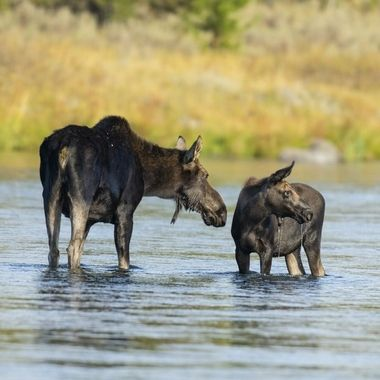 Cow Moose with calf moose DSC05663