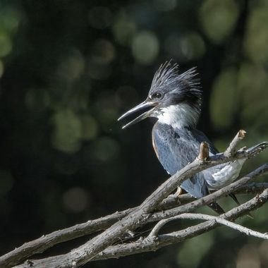 Belted Kingfisher female DSC09961