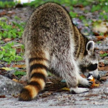 Raccoon having a body length of 40-70-cm and body weight of 5 tp 26 kg. Its grayish coat mostly consists of dense underfur, which insulates it against cold weather - native  to north America largest of the procyonid family   (Mammal)