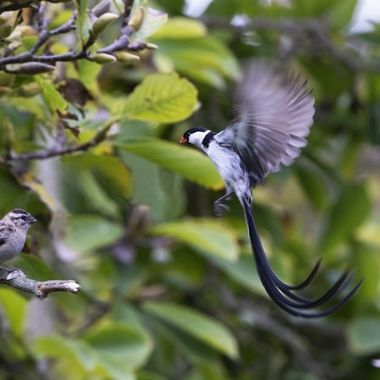 Pin-tailed Whydah dancing DSC01998