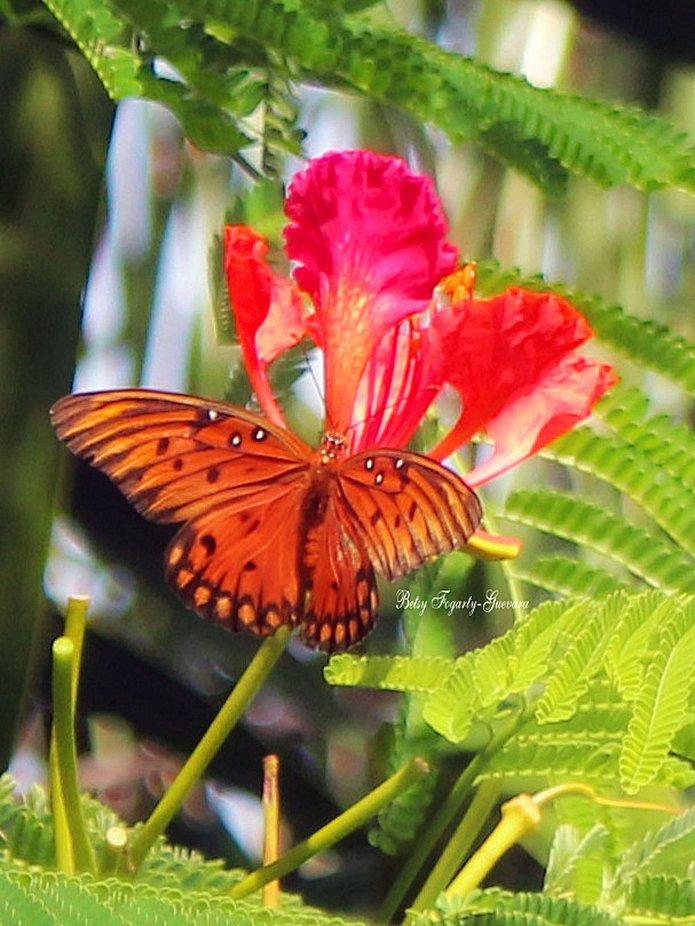 Gulf fritillary Butterfly resting on a Flamboyant Tree