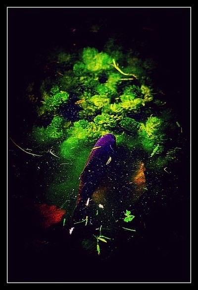 Tienen, City of greenery and water There is a lot of greenery in Tienen, both in the city and around the city. Here's a picture of a fish in th by Theo-Herbots-Fotograaf
