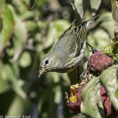 Juvenile of female Cape May Warbler feasting on a Japanese Dogwood fruit. It stay around for several days until the tree was bare.  20210927 - Jim Frid - 1208