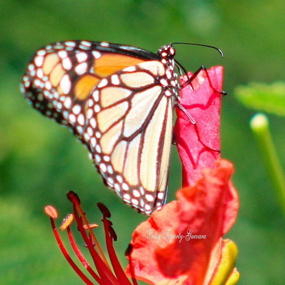 A large migratory orange and black butterfly. It Is a milkweed butterfly in the family Nymphalidae. Ii may be most familiar in north America And is considered an iconic  pollinator species