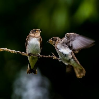 """Juvenile Barn Swallow said to the other, """"What did you eat earlier?  I am getting out of here!""""  Taken in July, 2018."""
