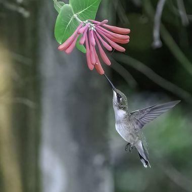 Female Ruby-throated Hummingbird  20210915 - Jim Frid - 1091-Edit-Edit