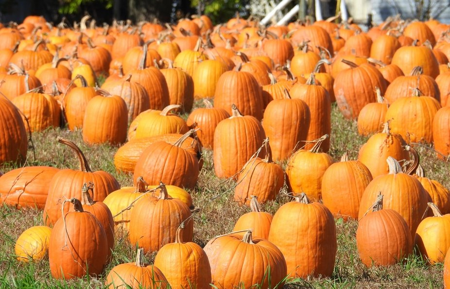 Pumpkins ,pumpkins everywhere!