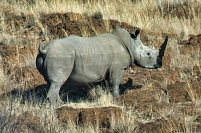 White Rhinoceros on the move