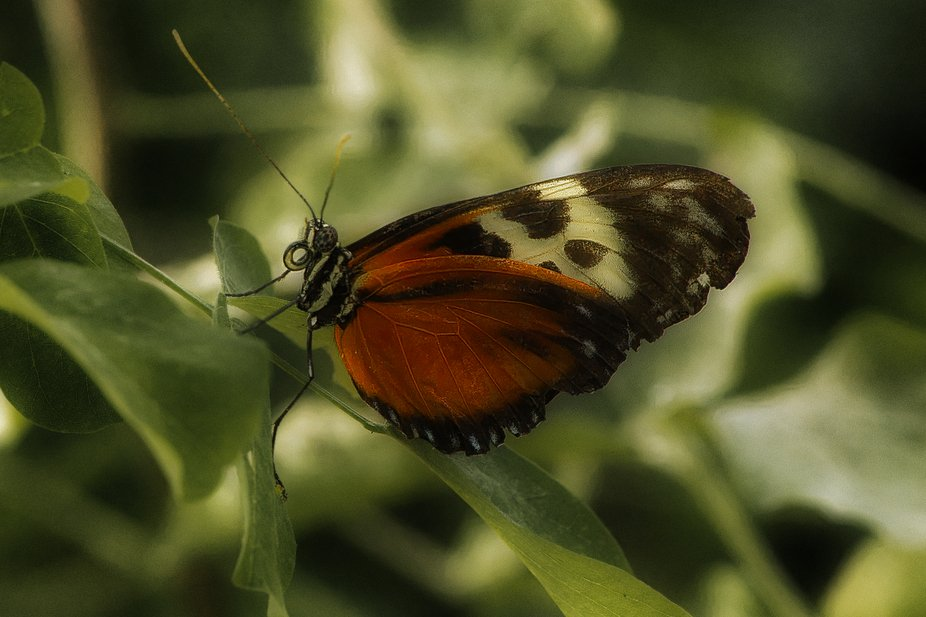 Orange, black and white butterfly settled for lunch.