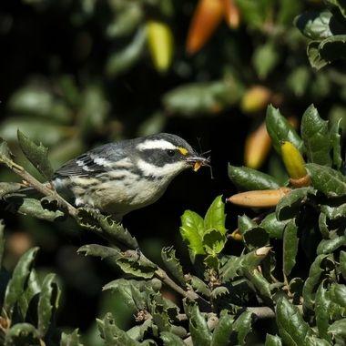 Black-throated Gray Warbler DSC04902